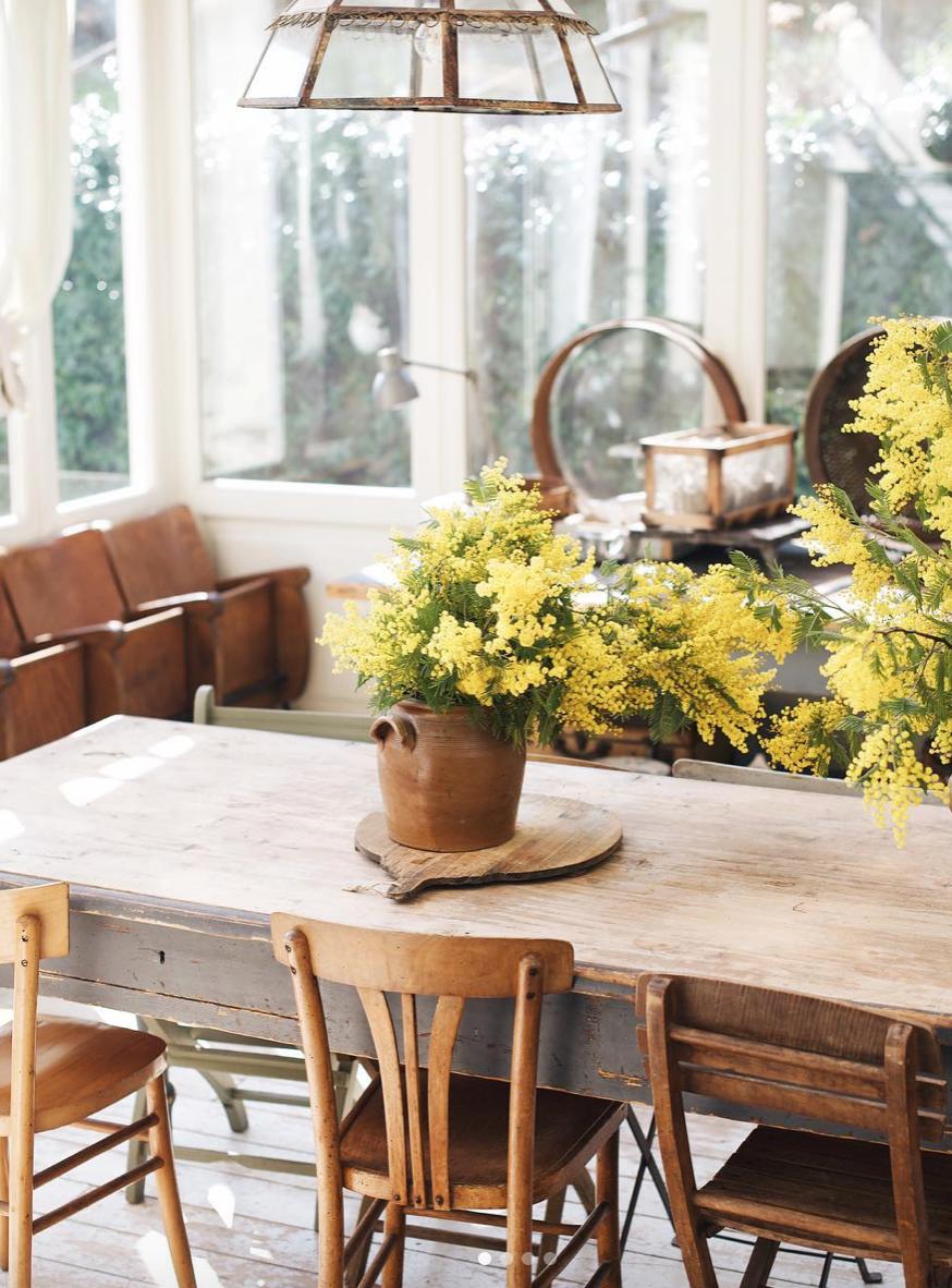 Le mimosa, la star de nos maisons